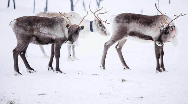 Snowmobile Safari to visit Reindeers at Wilderness camp, including ...